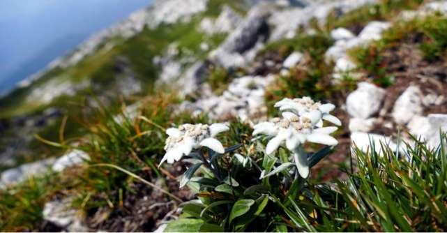 Floarea-de-colt. Misterele uneia dintre cele mai frumoase flori