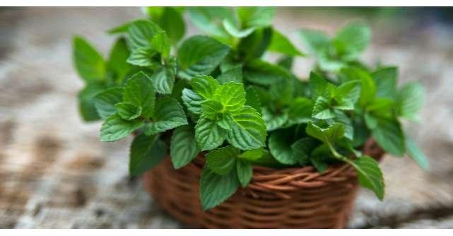 Planta care vindeca 100 de boli. Afla ce poti trata cu ea