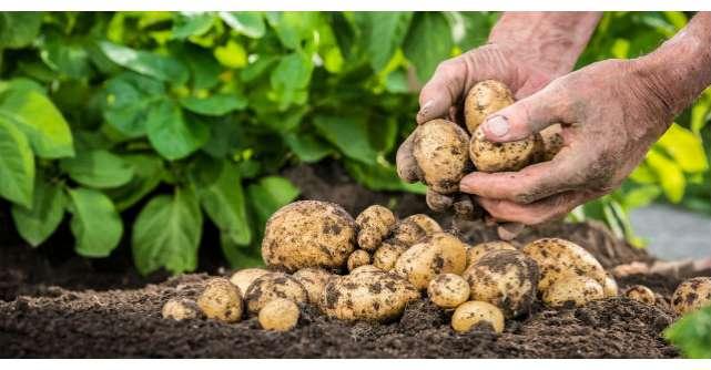 Ce boli trateaza cartoful. Cum sa il folosesti