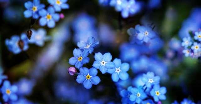 Floarea de Nu-mă-uita nu este doar frumoasă! Iata ce efecte are