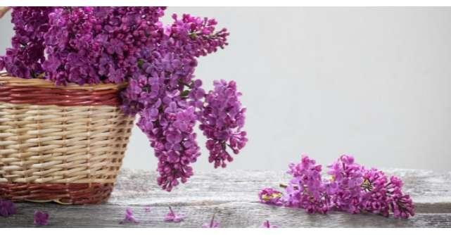 Floarea de liliac are efecte uimitoare asupra organismului. Trateaza peste 50 de boli
