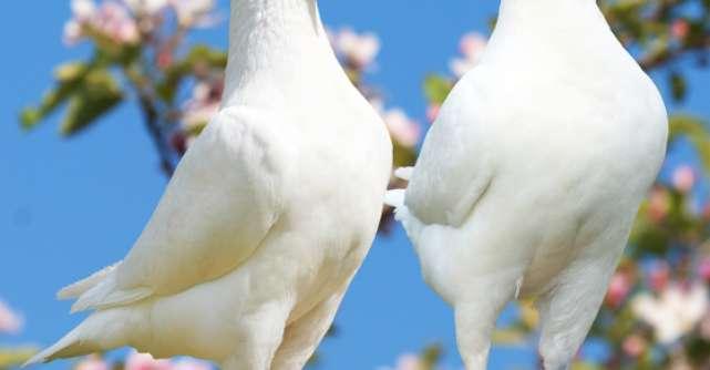 Si porumbeii vorbesc englezeste
